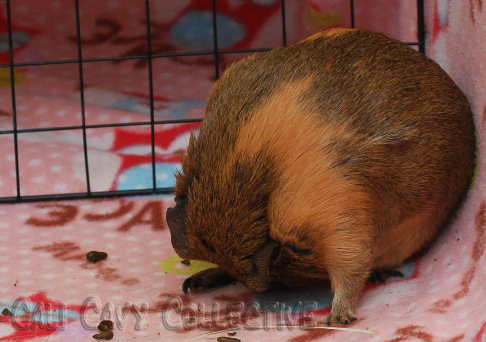 Guinea Pig Pooping