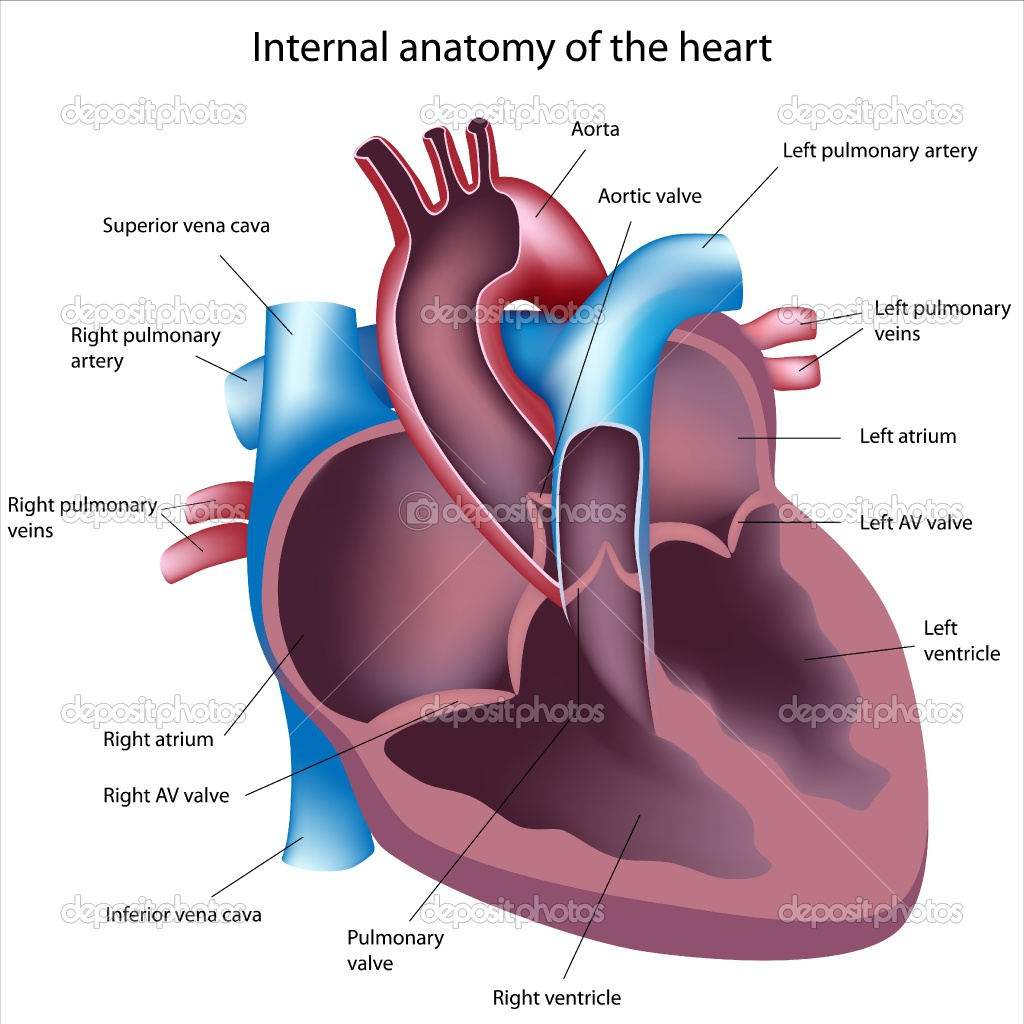 Diagrams internal anatomy of the heart internal anatomy of the heart ccuart Images