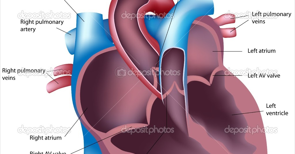 DIAGRAMS: Internal Anatomy of the Heart