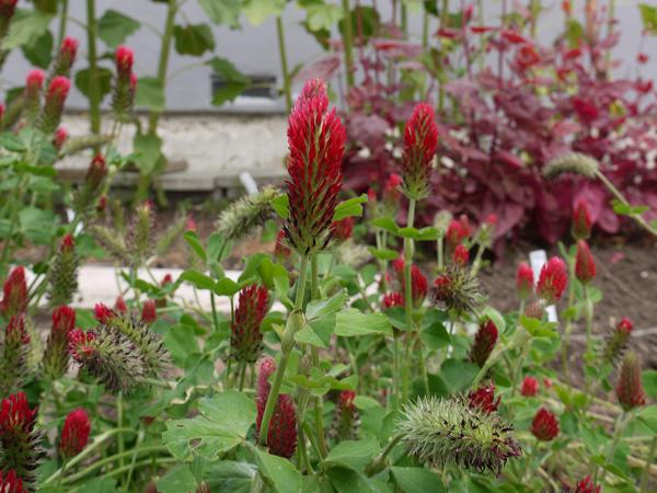 Crimson clover (Trifolium incarnatum) in flower