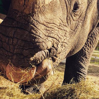 rhino-tongue-eating