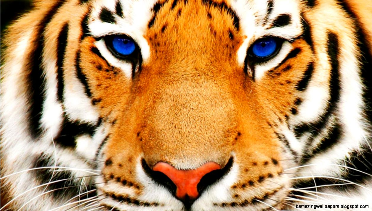Animals For White Bengal Tigers With Blue Eyes  CatBreedsPic