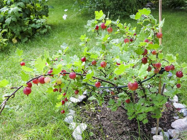 röda krusbär