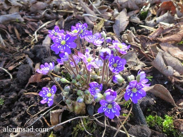 печеночница, перелеска, Hepatica nobilis, аленин сад, апрель в саду, цветы в апреле, сиреневые цветы