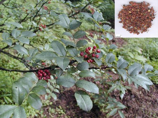 Zanthoxylum bungeanum Maxim (Fam. Rutaceae)