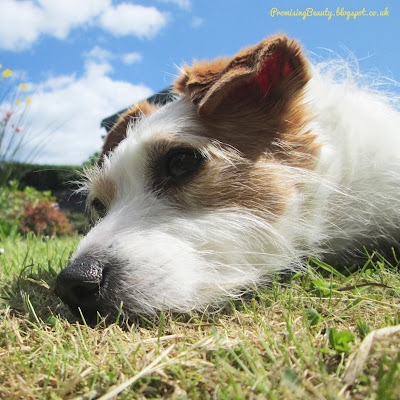 My besutiful little Jack Russell sunbathing in the garden during a heatwave.