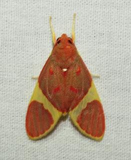 Trichromia atta, Erebidae, Arctiinae