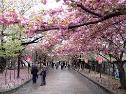 Tempat romantis di saat bunga sakura bermekaran