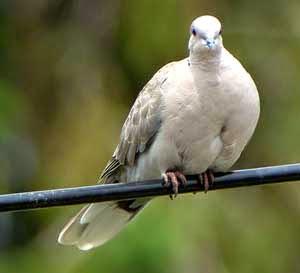 Gambar Cara Merawat Burung Merpati