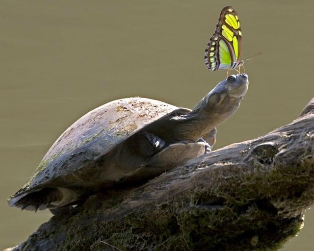 Sommerfugl og skildpadde - Skynd dig langsomt - Festina lente