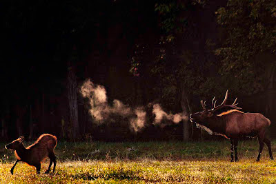 Bull Elk Bugling with Steamy Breath