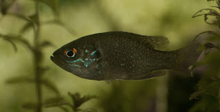 Panfish in aquarium