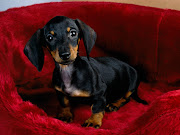 God made a little dachsie. to brighten up our day,