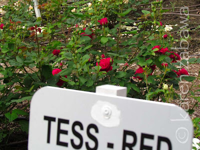 Tess of the Durbervilles deep red David Austin rose.