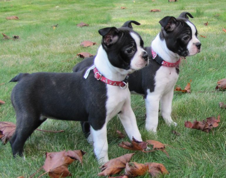 Boston Terrier Puppy Pictures | Puppy Pictures and Information