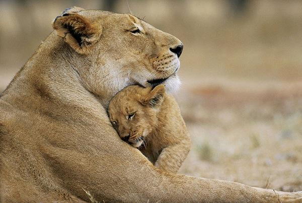Tigress hug