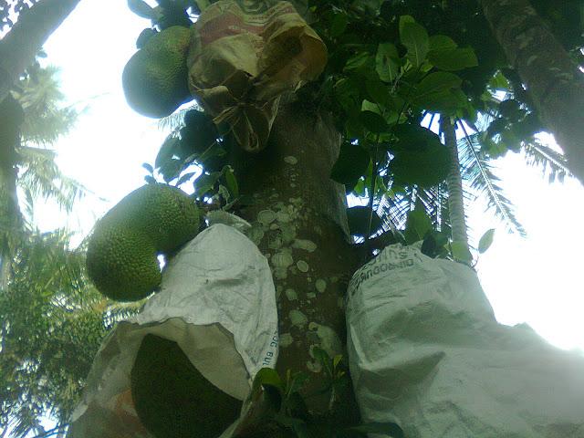 Pohon Nangka Organik