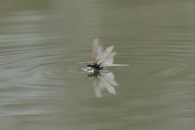 large winter stonefly surface-skimming