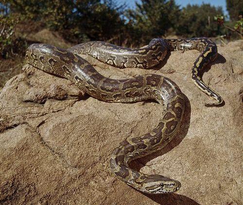 snaket