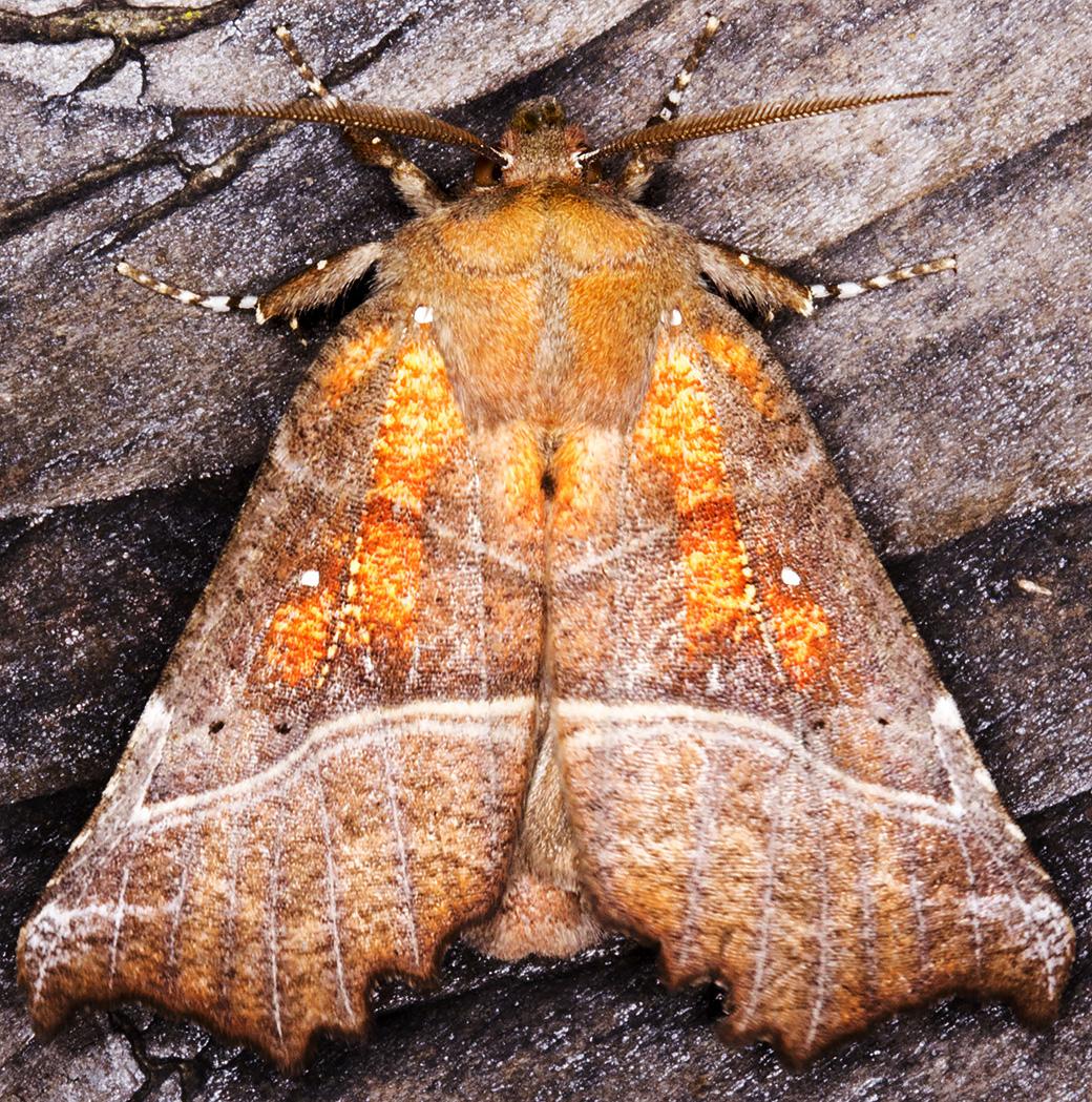 Herald, Scoliopteryx libatrix.  Noctuidae.  Moth trap at Sevenoaks Wildlife Reserve, 27 April 2014.
