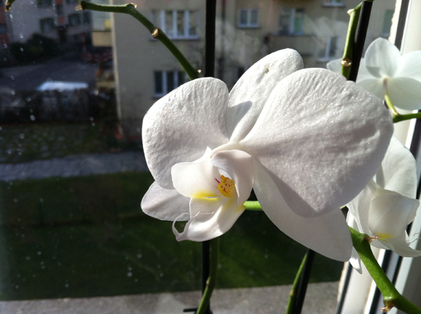 white orchid at my home