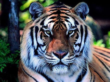 animals wallpapers beautiful tiger