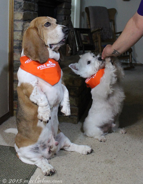 Basset and Westie sitting for treats