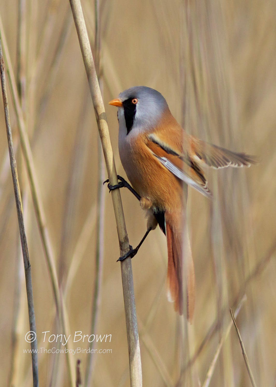 Male, Bearded Reedling
