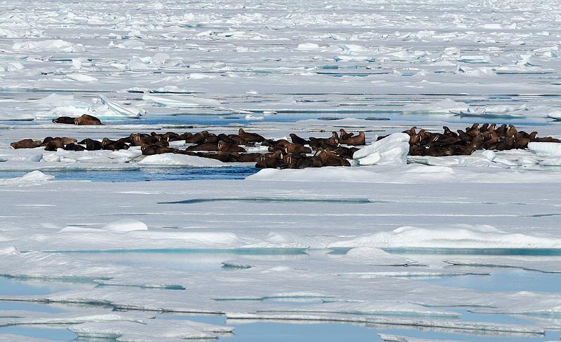 walrus, morsk