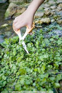 benefits_of_eating_watercress_fruits-vegetables-benefits.blogspot.com(15)