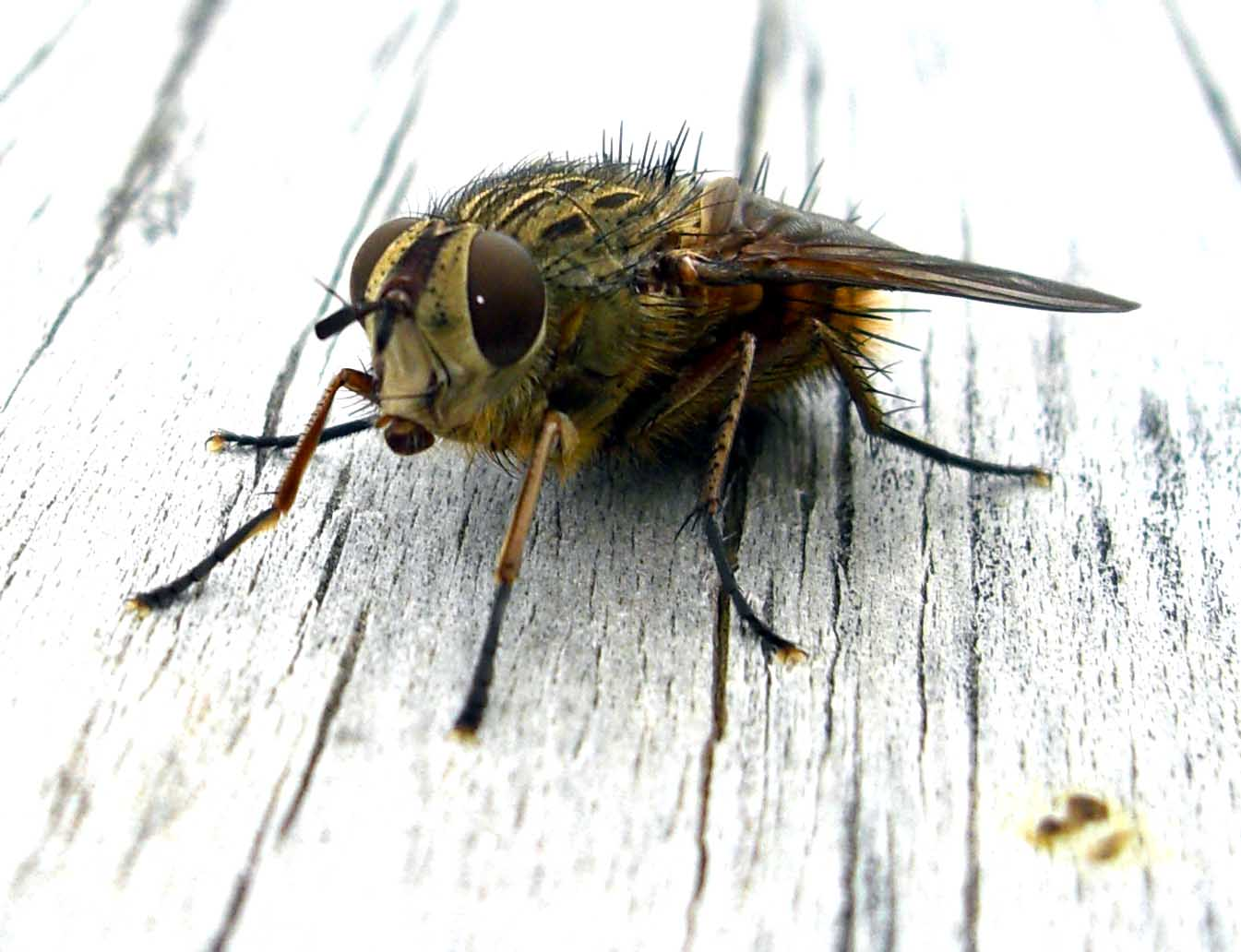True wild life fly the fly is one of the most common and well known