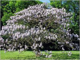 Arborele Printesei (Paulowina tomentosa)