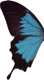 Aile De Papillon c4d débutant: ailes de papillon en mouvement