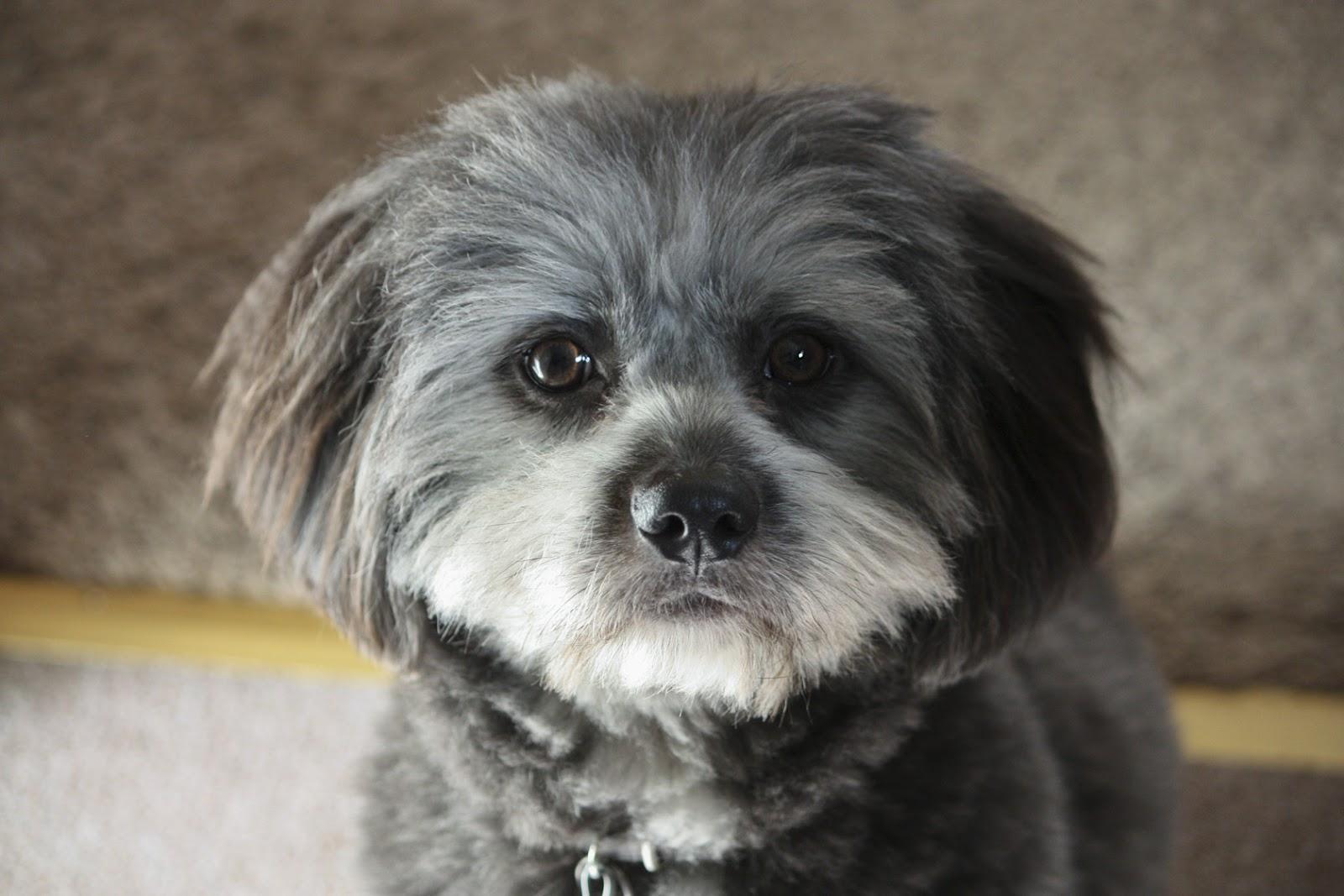 Pin Pomeranian Shih Tzu Poodle Mix on Pinterest