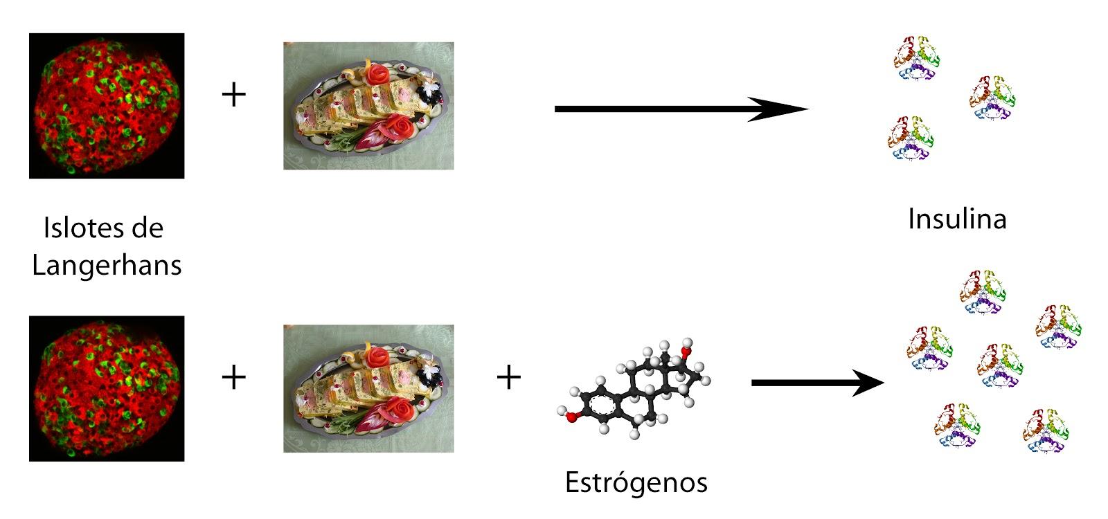 Los estrógenos potencian la respuesta del islote pancreático a nutrientes que producen secreción de insulina