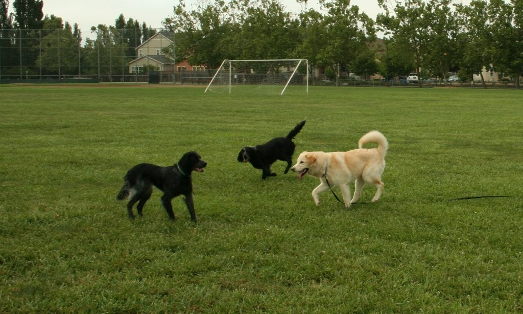 keegan playing on the fields with two blue picardy spaniels