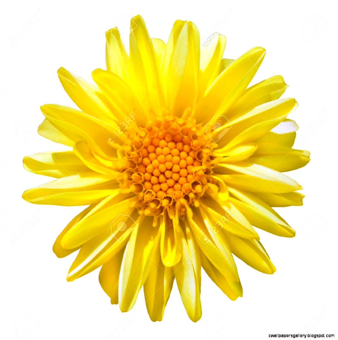 Beautiful Yellow Dahlia Flower Isolated On White Background Stock