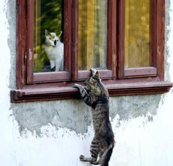 Смешной кот лезет в окно к кошке