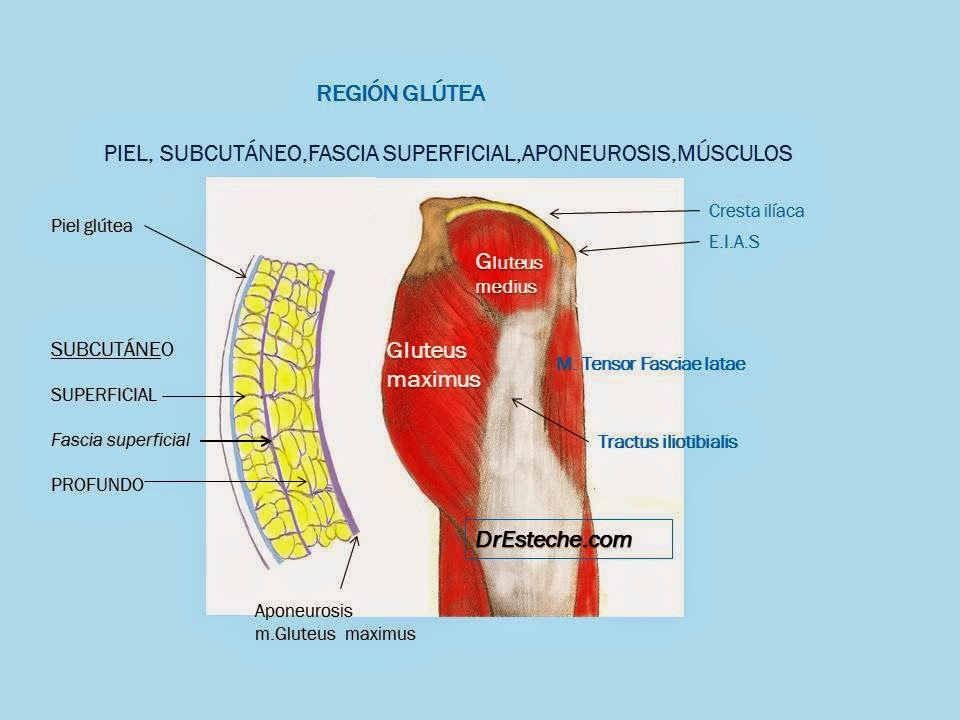 Fantástico Glúteo Menor Anatomía Imágenes - Anatomía de Las ...