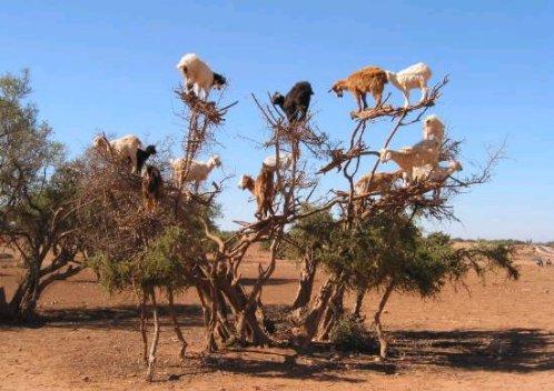 Argania bem la ch vre ennemi de l arganier - Jeux de tronconneuse qui coupe les arbres ...