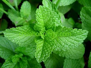 3 mẹo chữa hôi miệng bằng rau thơm hữu hiệu - lá bạc hà