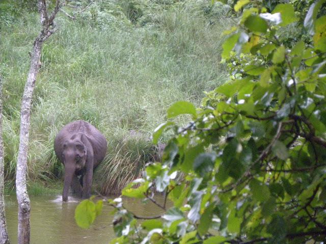 Wild elephant, K Gudi