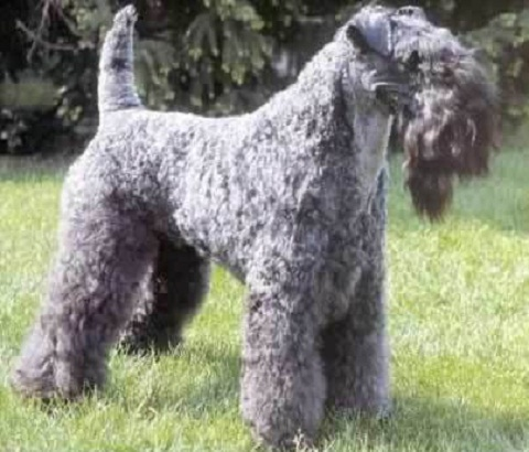 Kerry Blue Terrier - playful and comical