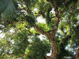 really big tree, Panama