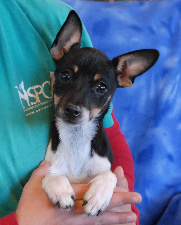 Oreo An Adorable Rat Terrier Puppy Debuting For Adoption