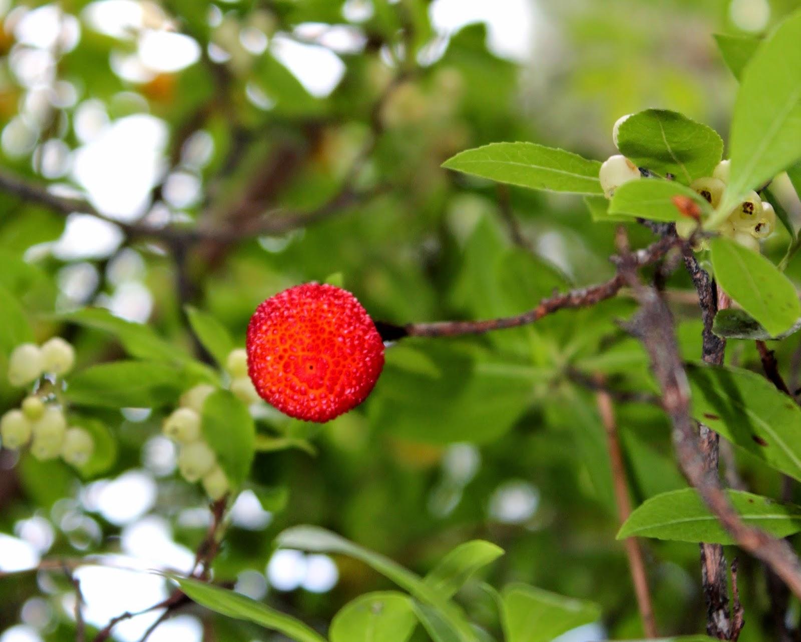 Frutos de otoño. Madroño