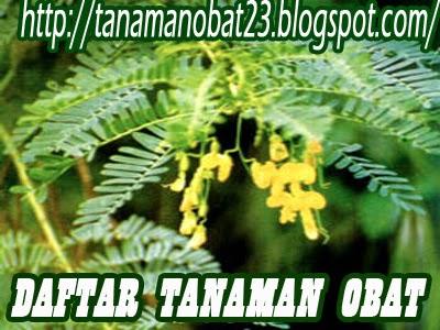Tanaman Obat Jayanti  (Sesbania sesban Merr.)