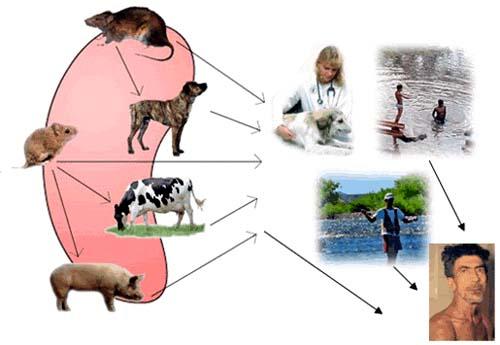 Bệnh do Lepto lây nhiễm trên nhiều  loài khác nhau, trong đó có con người