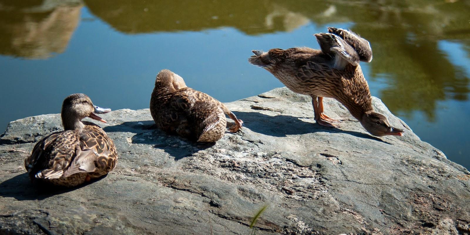 Mallard Ducks, Sterne Park