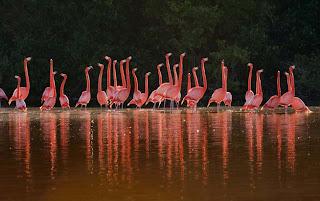 Kumpulan Foto Burung Flamingo